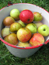 The apples from my yard